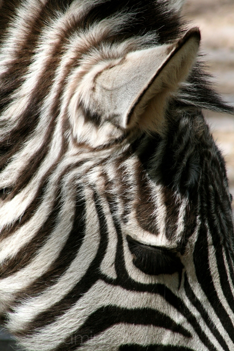 animal zebra germany stripes darmstadt vivarium