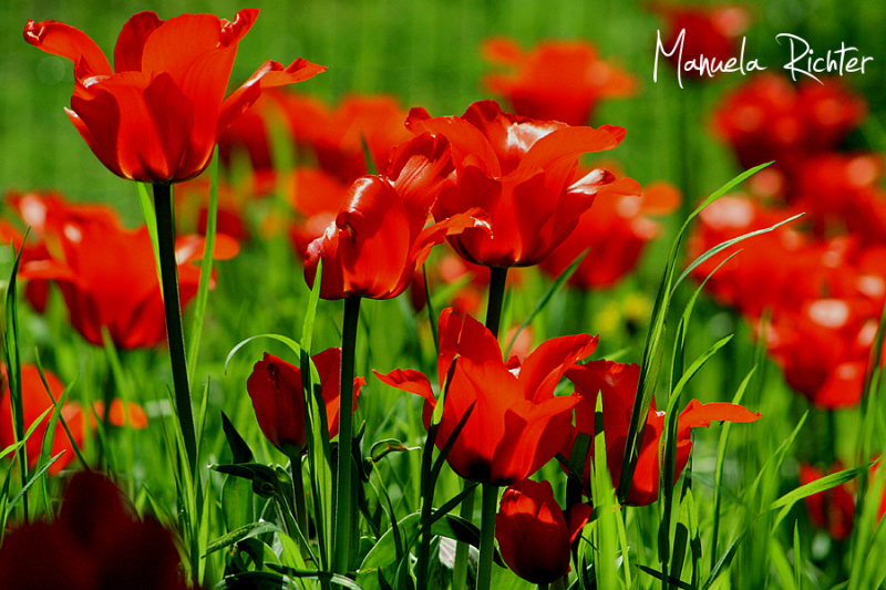 red green tulip flower bloom spring germany