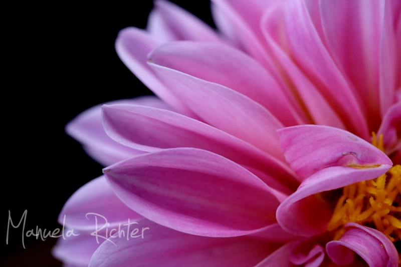 dahlia pink flower bloom macro
