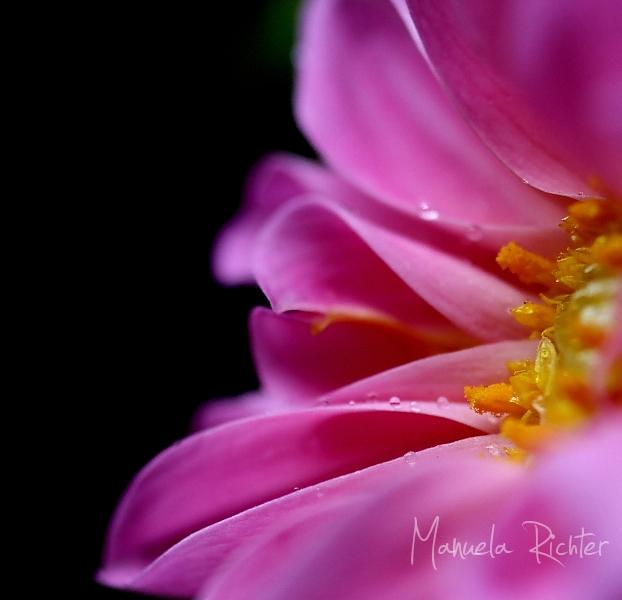 dahlia pink flower bloom macro