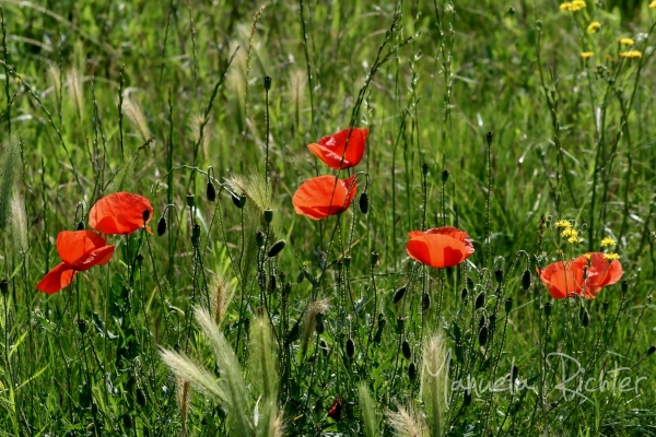 poppies red flower bloom field summer red field
