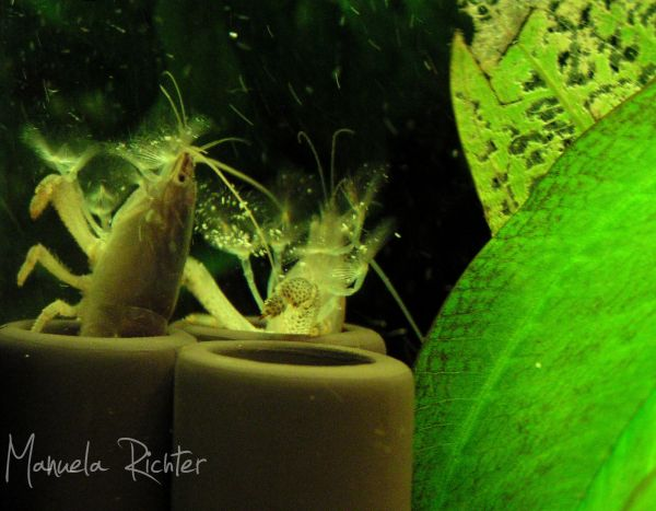 aquarium schrimp prawn fan water