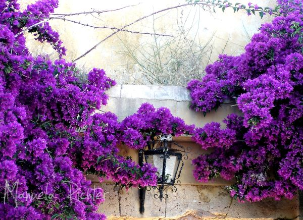 bougainville purple wall lampe plant portugal