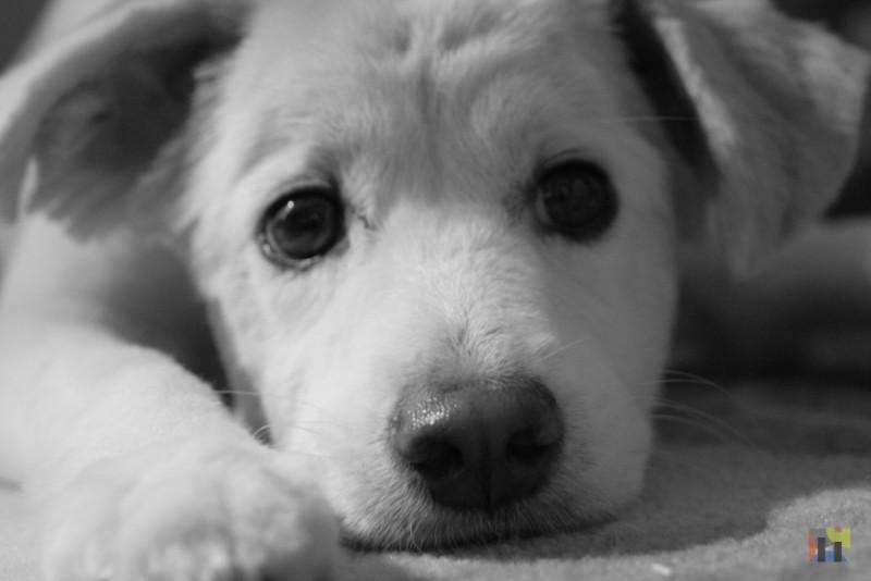 My dog cotton in black white