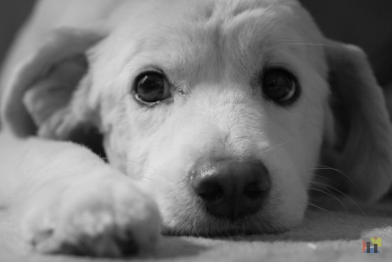My dog Cotton in black & white.