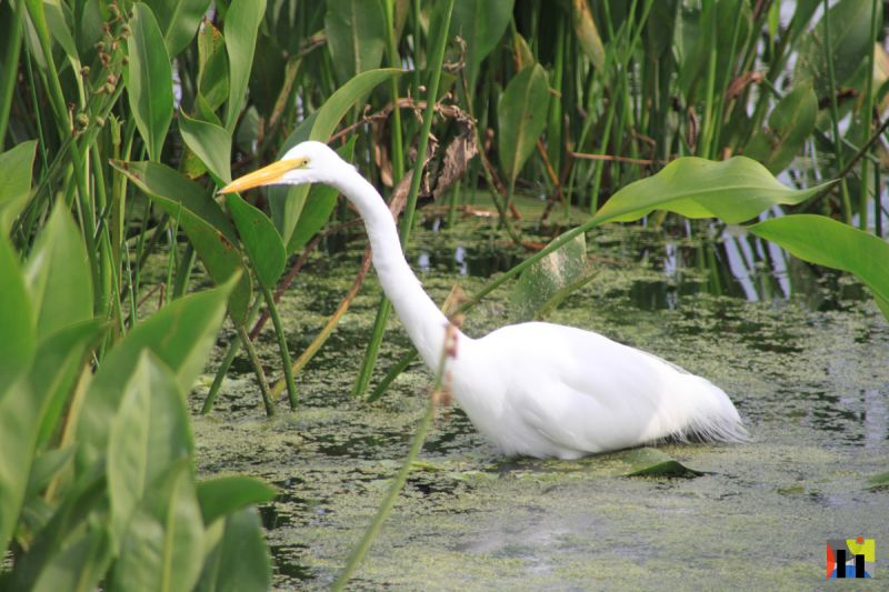 Egret in Green Cay Wetlands