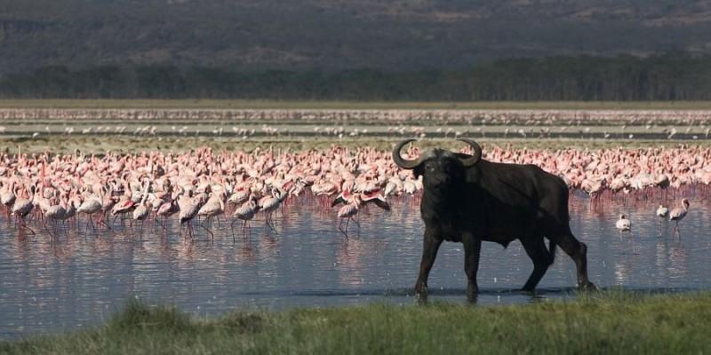 water buffalo flamingo