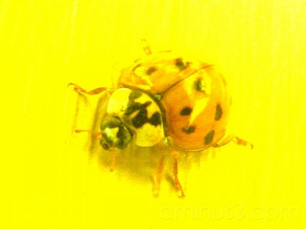 Asian Lady Bug