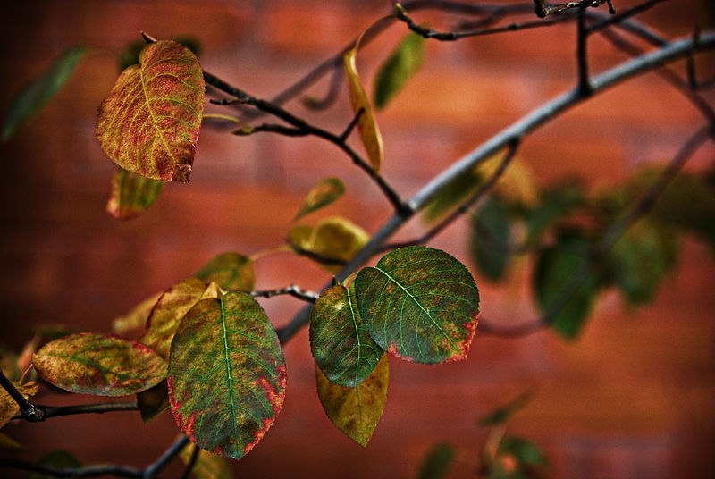 Cherry Leaves in Autumn