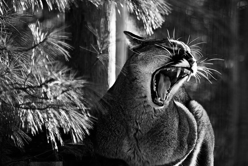 Prickly Puma