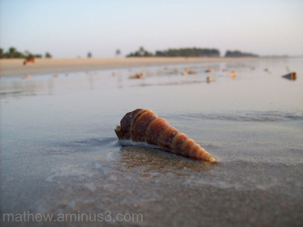 Sea shell on beach in Goa