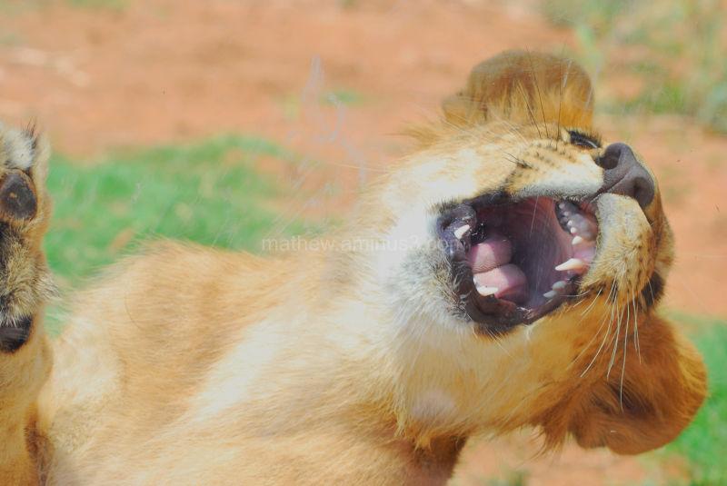 angry baby cheetah - photo #43