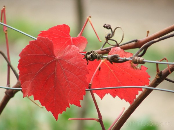leaves, red