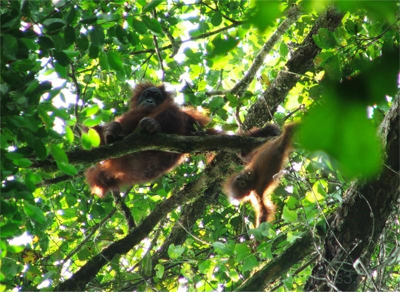 Wild Orangutans