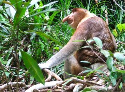 red proboscis monkey
