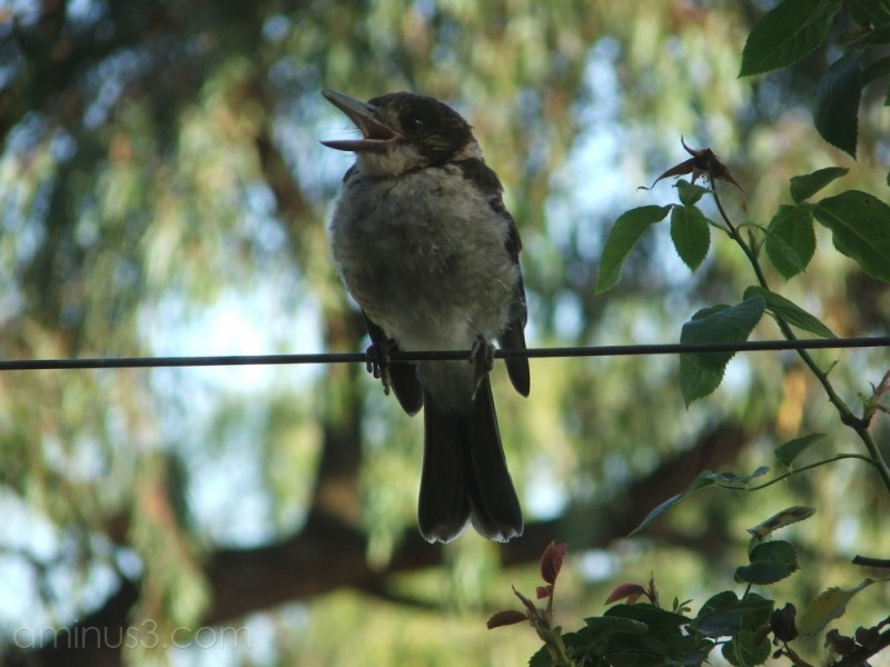 Birdsong 3