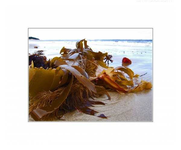 Kelp on the sand