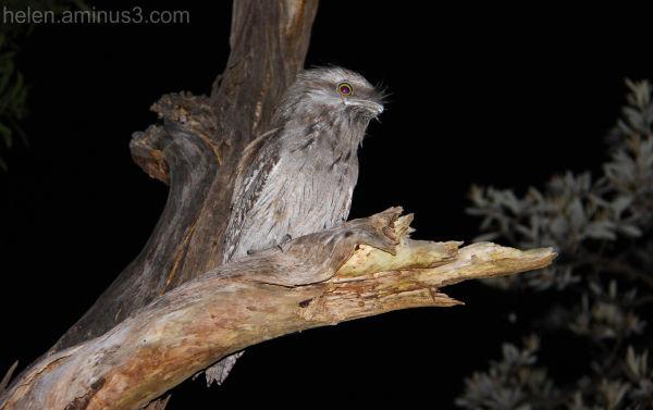 Tawny frogmouth nightjar owl bird