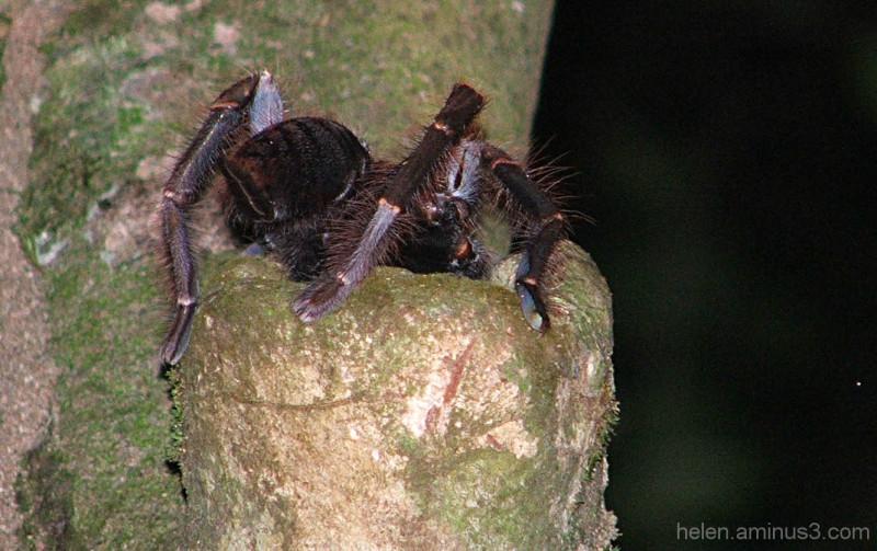 Determination: Tarantula in a tree