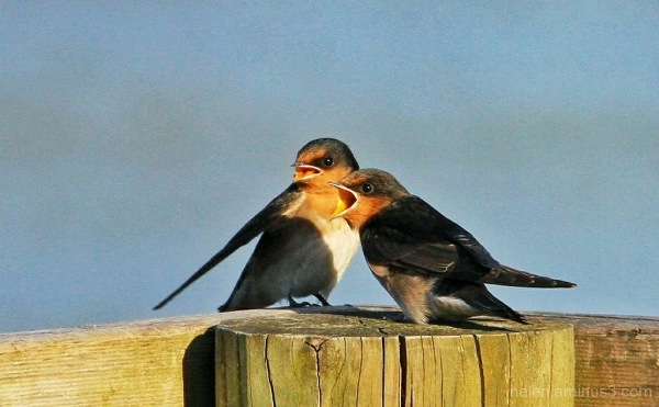 Squawking swallows