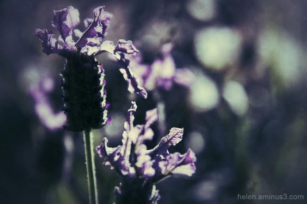 Lavender daze 2