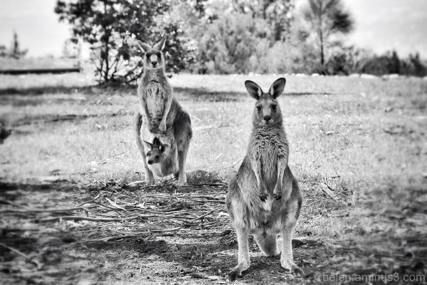 Two Roos or three?
