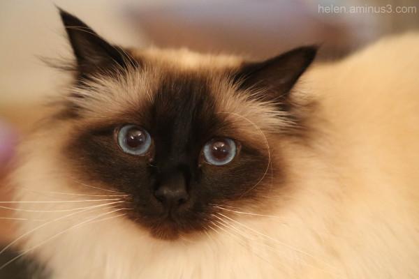 Atticus catticus