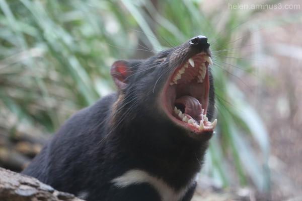 Australian animals - The Tasmanian Devil