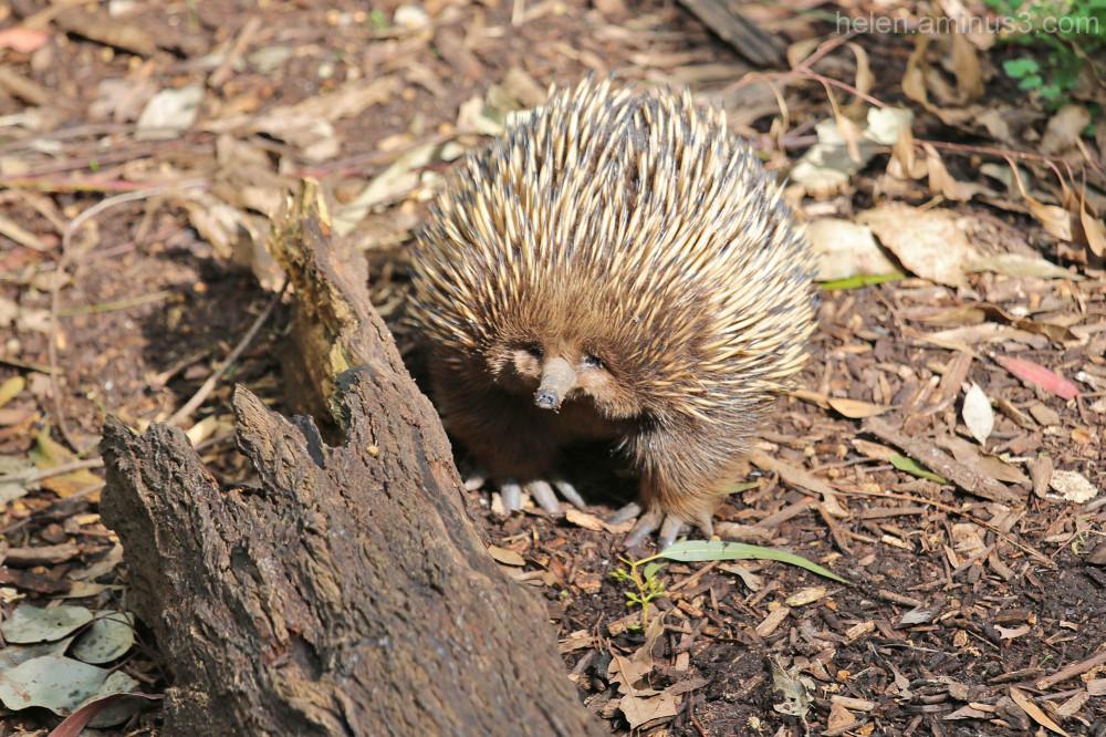 Australian animals - The Echidna