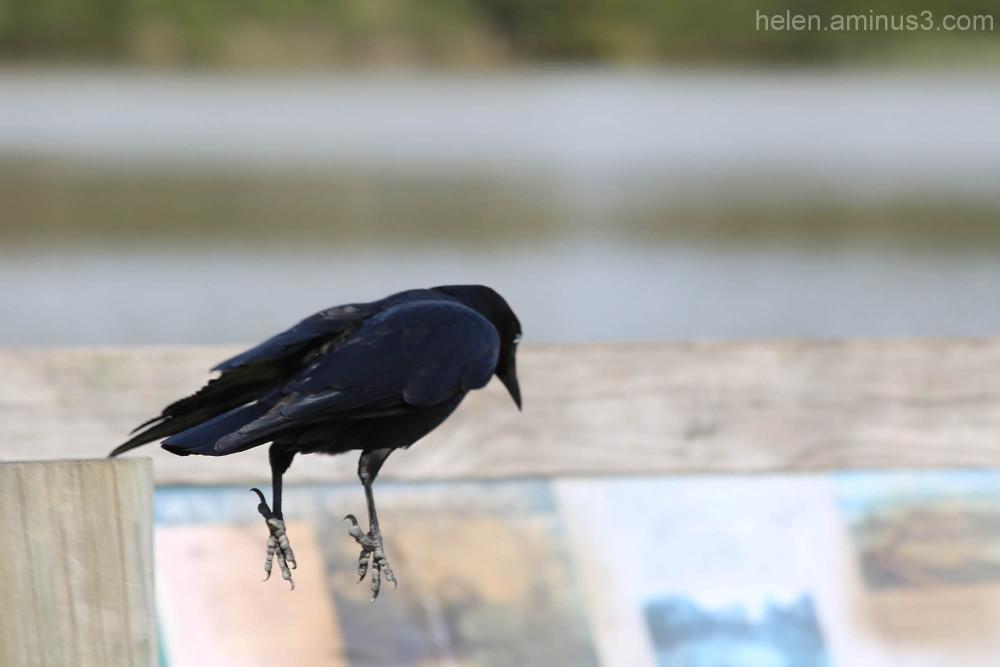 Habits of a raven #3
