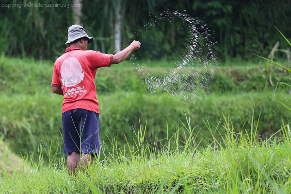 Fertilising the rice
