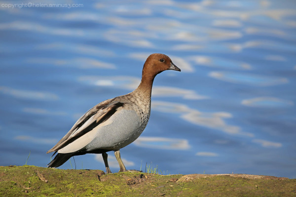 Duck on the bank (male) : 2