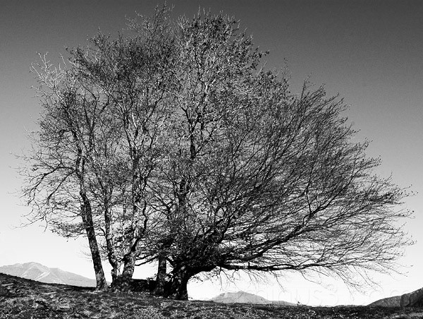 black and white tree photos. Black amp; White Tree.