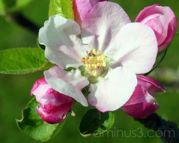 Blossum