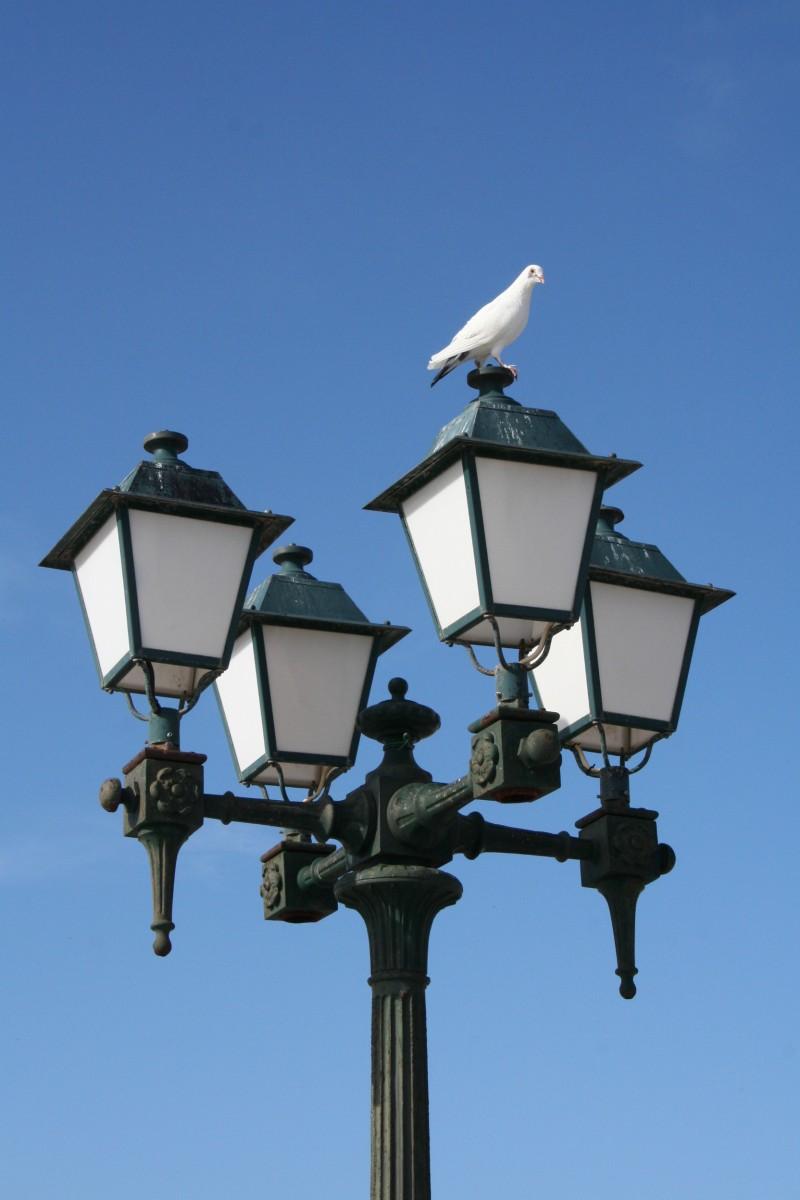 Pomba da Paz - Peace Pigeon