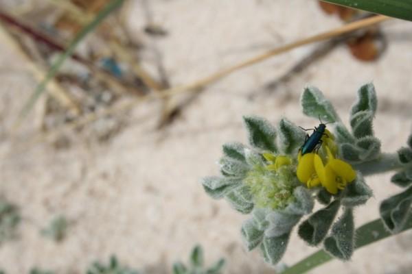 oldbeach insecto flor praia