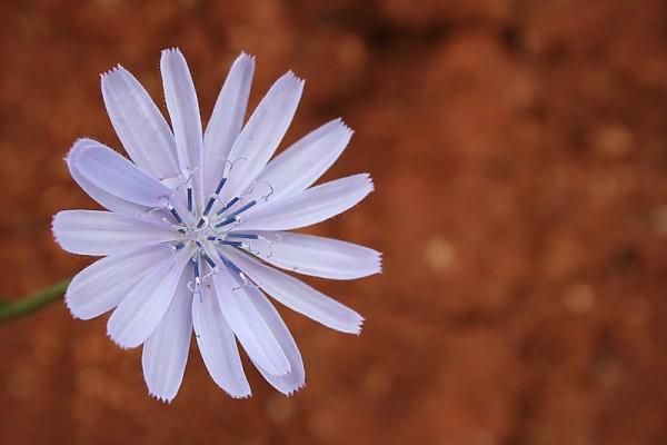 chicoria flor