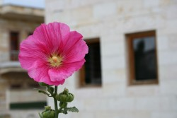Flower in Göreme