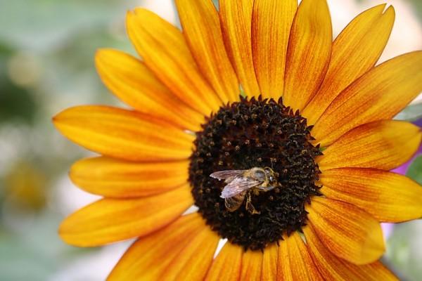 abelha goreme
