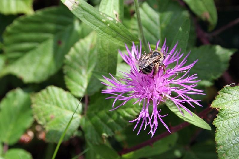 Recolhendo o polén e o néctar
