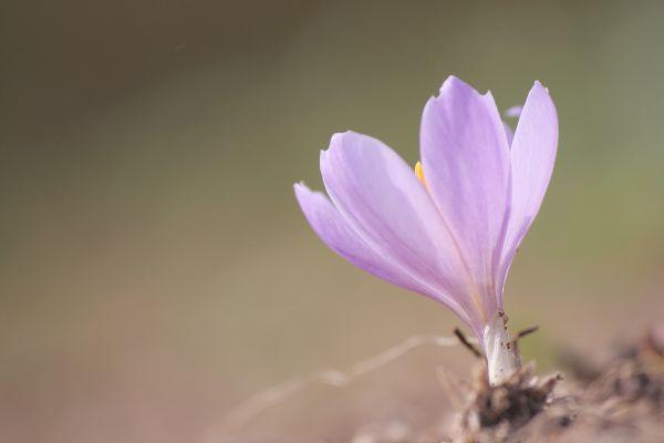 flor crocus outono