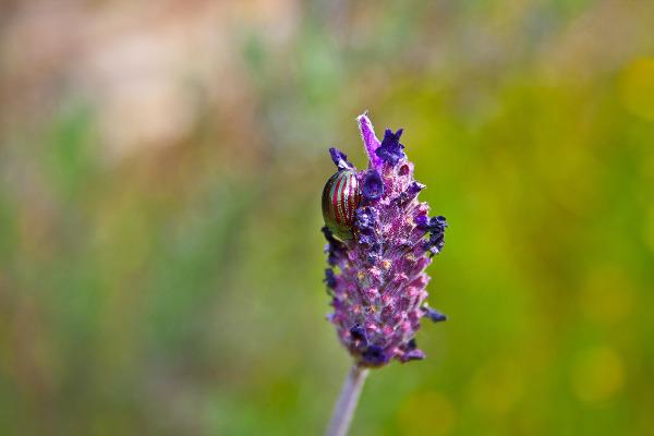 insecto dourointernacional Coleoptera