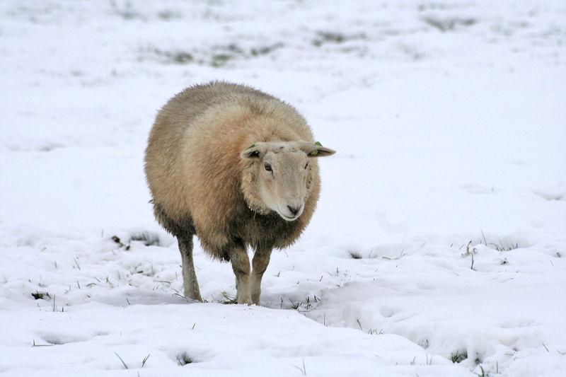 holanda neve inverno ameide ovelha