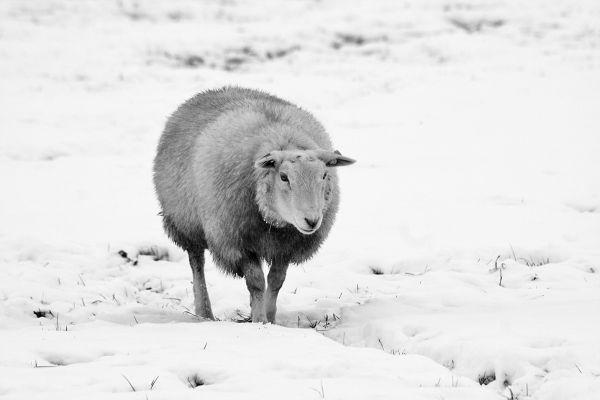 dourointernacional ameide neve inverno ovelha