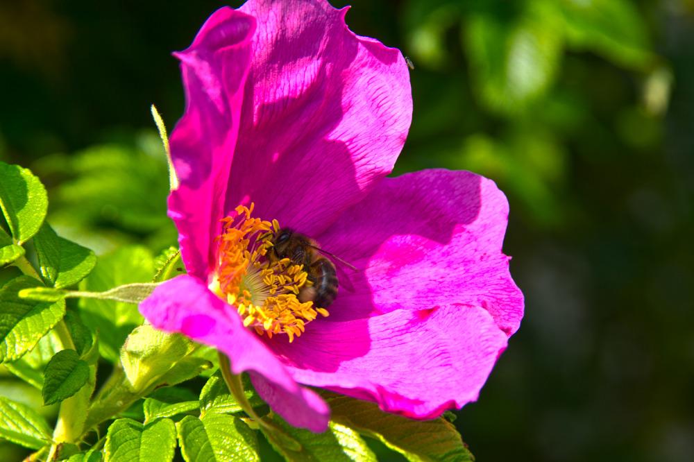 holanda Utrecht flor abelha