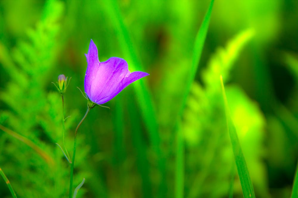 holanda ameide flor