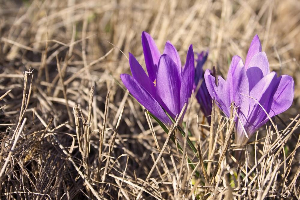 flor crocus caramulo