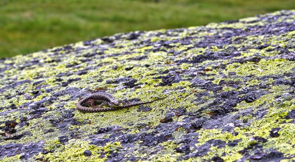 serraestrela lagartixa