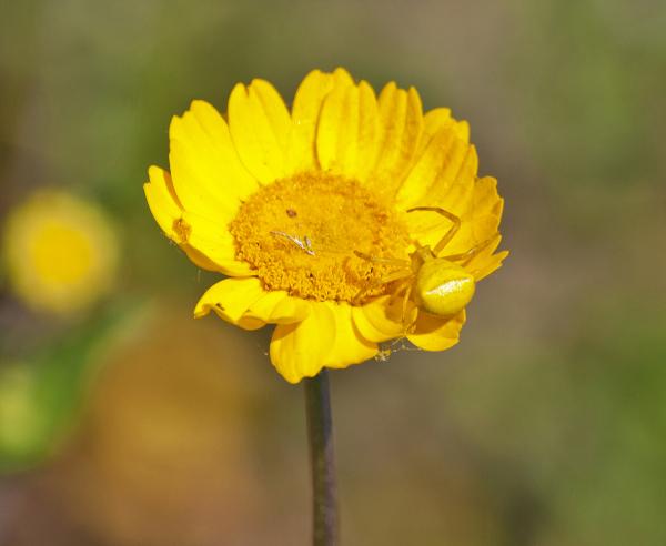 alentejo castelo-de-vide flor aranha