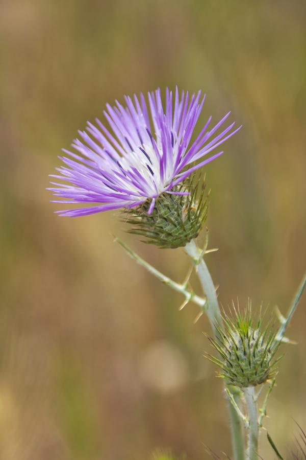 flor alentejo cardo